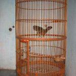 Cách chữa bệnh thường gặp ở chim Họa Mi