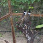 Hướng dẫn nuôi chim chào mào trống và mái để sinh sản