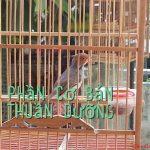 Cơ bản về cách thuần dưỡng chim sâu đầu đỏ