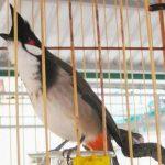Cách nuôi chim chào mào hót hay, căng lửa, siêng hót