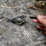 Kỹ thuật nuôi chim cảnh từ những nghệ nhân lão làng