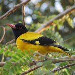 Cách phân biệt chim vàng anh trống mái chính xác nhất