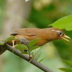Phân biệt chim Họa Mi trống mái rất dễ