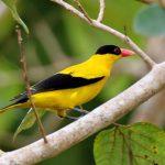 Những giống chim vàng anh được ưa chuộng tại Việt Nam