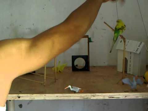 Tổng hợp về phương pháp chăm sóc và nuôi sinh sản Vẹt Hồng Kông