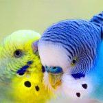 Cách Phân Biệt Chim Yến Phụng Trống và Mái