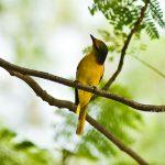 Bốn loại chim vàng anh được nuôi nhiều nhất tại Việt Nam