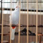 Nghệ thuật giúp bán chim chào mào được giá cao nhất