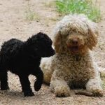 Ten Ways to Help Your Poodle if Disaster Strikes
