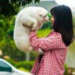 Đánh giá chó Samoyed
