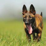 Đánh giá chó Bỉ Malinois