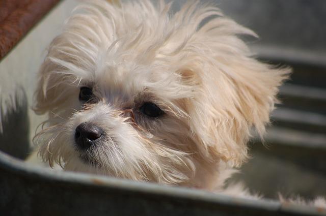 [Review Dog] Đánh giá chó Malta
