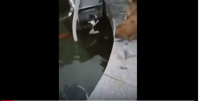 Video Chó cứu mèo dưới nước