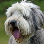 Đánh giá chó Bearded Collie