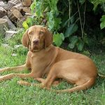 [Review Dog] Đánh giá chó Vizsla