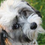 [Review Dogs] Đánh giá chó havanese