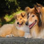 5 dấu hiệu chó của bạn có thể mang thai