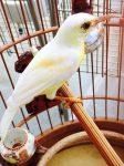Vua chim màu' đất Bắc kể chuyện chim hoàng khuyên 500 triệu/con