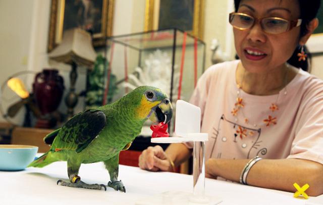 Chú chim chào mào đột biến gen 300 triệu của đại gia Hà Nội