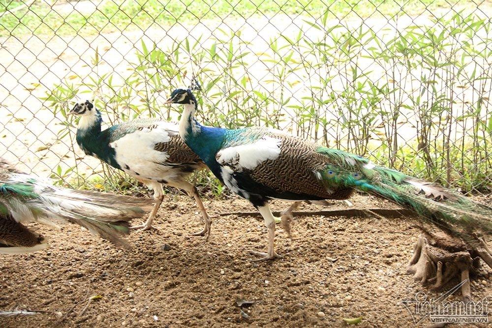 Chim công ngũ sắc đột biến giá hàng chục triệu