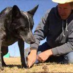 8 điều bạn chưa biết về chó gia súc Úc