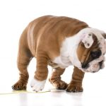 Can Bulldogs Roll Over? And How to Train Them in 7 Steps