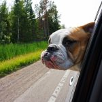 Can Bulldogs Play Fetch? And How to Train Them!