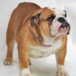 Bulldog Exercise