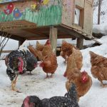 Cho gà ăn trong trang trại vào mùa đông giá lạnh