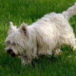 Chó Norwich Terrier