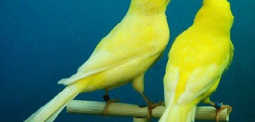 Cách chọn chim yến hót