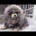 Video Chó Ngao Tây Tạng Hung Dữ