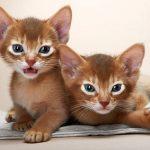 Giống mèo Abyssinian thông minh, loài mèo nguyên thủy của vùng Ai Cập
