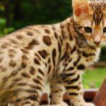 Mèo Ashera giá bao nhiêu? Địa chỉ mua bán mèo Ashera uy tín