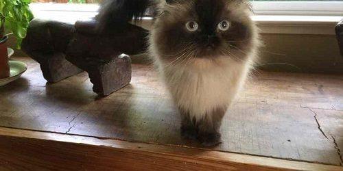 Mèo Himalayan- Bộ lông điệu đà và những đặc điểm đáng yêu khó cưỡng