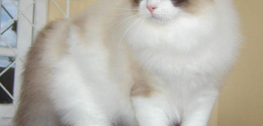 Mèo Ragdoll là mèo gì? GIÁ bao nhiêu tiền? Mua ở đâu Uy Tín