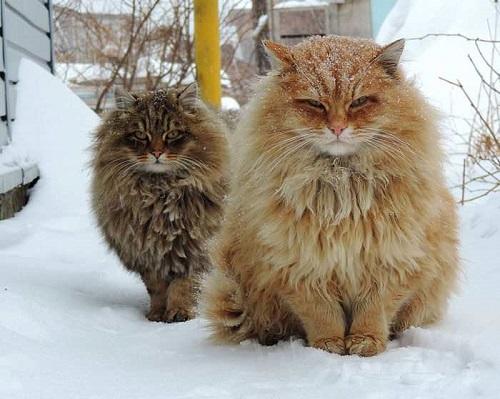 mèo siberian giá bao nhiêu