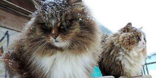 Mèo Siberian- Tổ tiên những giống mèo lông dài thông minh, trung thành