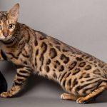 Mèo Savannah giá bao nhiêu? Mua mèo rừng ở đâu giá rẻ tại Việt Nam