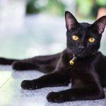 """Giống mèo Bombay- Chú """"Báo đen nhỏ"""" vùng Á châu"""