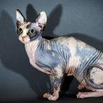 Vì sao mèo không lông và mèo Mau Ai Cập lại sở hữu mức giá cao ngất?