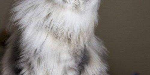 Mèo Maine Coon- Loài tiểu hổ khổng lồ và những đặc điểm kỳ thú