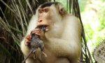 Khỉ săn chuột để ăn: nhà nông mừng, nhà khoa học ngạc nhiên