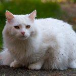 Mèo Angora Thổ Nhĩ Kỳ giá bao nhiêu? Mua mèo Turkish ở đâu?