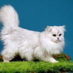 Mèo Anh lông dài thuần chủng GIÁ bao nhiêu? Mua ở đâu GIÁ RẺ?