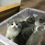 Mèo Anh lông ngắn, Tai Cụp thuần chủng ăn gì? Giá Rẻ nhất bao nhiêu?