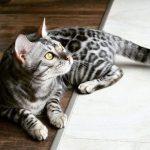 Mèo Bengal GIÁ bao nhiêu? MUA mèo Bengal Ở ĐÂU giá RẺ và CHẤT LƯỢNG?