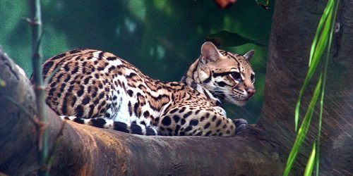 Mèo Gấm- Loài mèo hoang dã quý hiếm trên thế giới