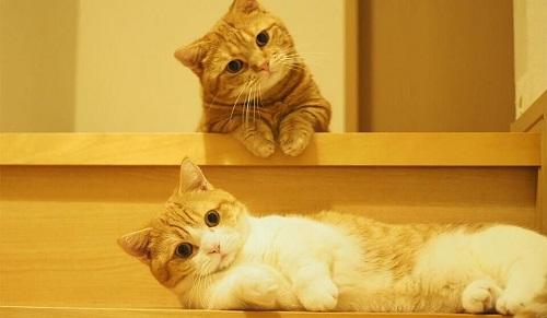 Giống Mèo Munchkin tai cụp GIÁ bao nhiêu? Chăm sóc thế nào?