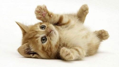 mèo munchkin giá